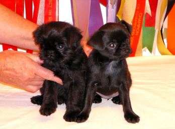 Black pups 7 weeks